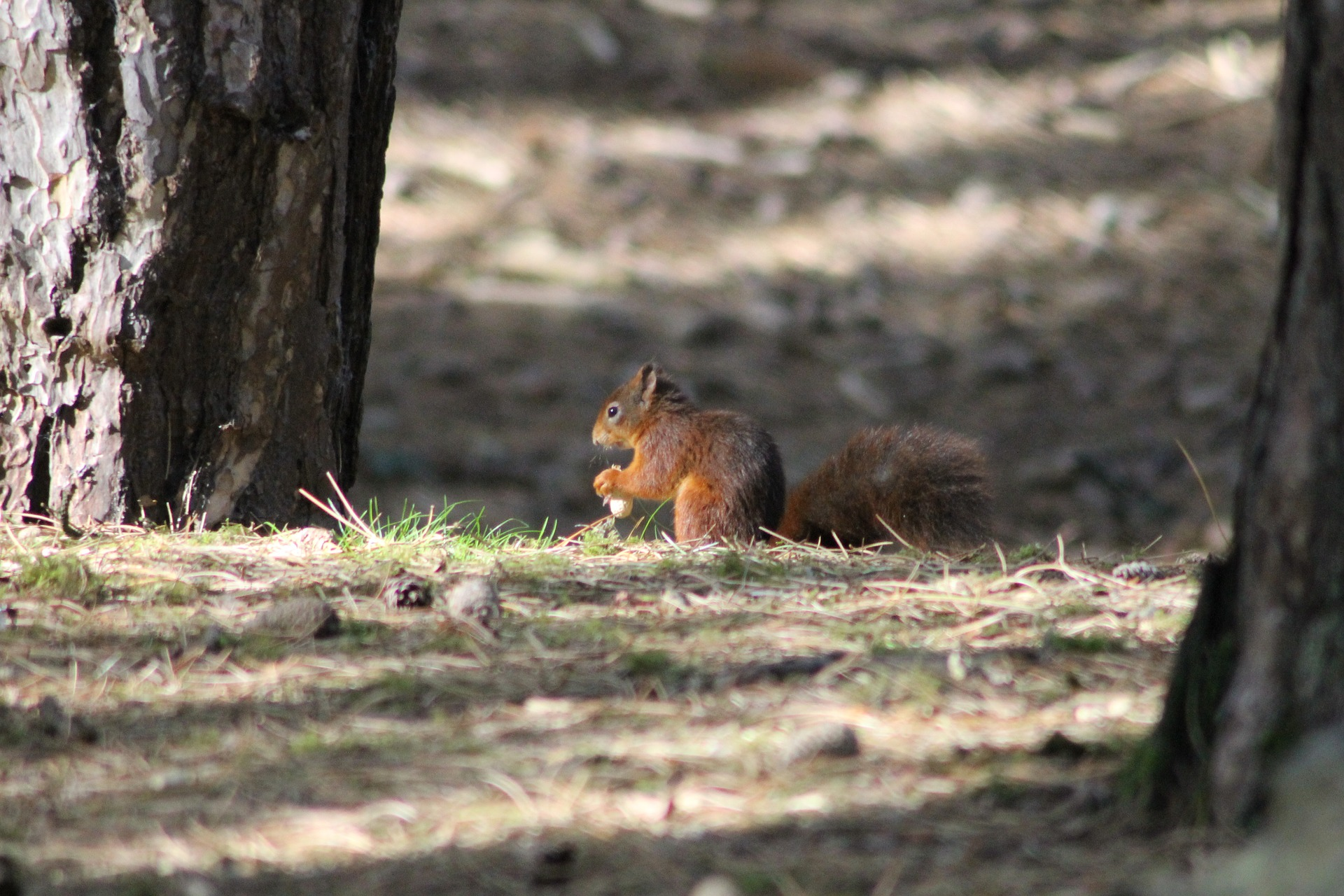 Conservation of the red squirrel