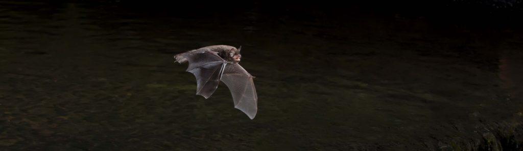 Daubentons bat found at brockholes nature reserve