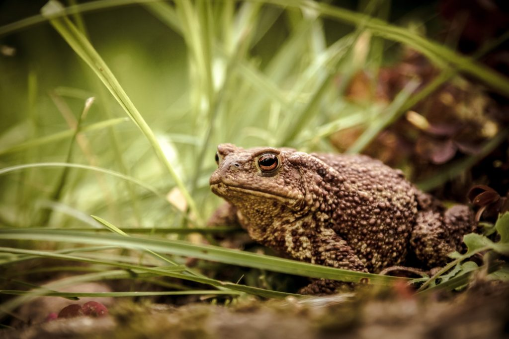 a toad sitting in the grasslands found in the north west