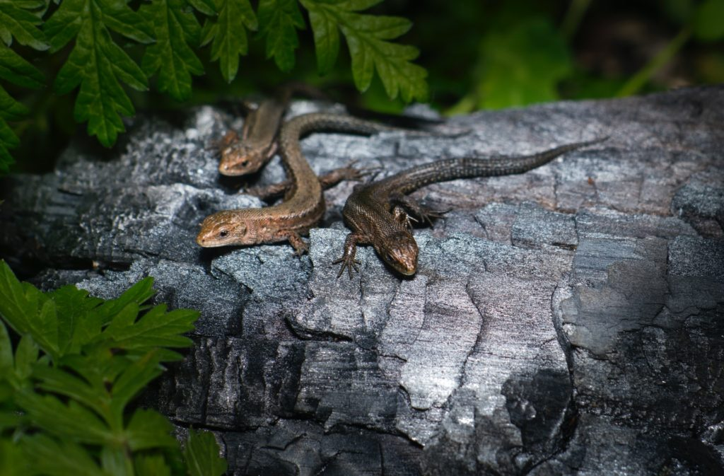 lizards warming themselves on a log