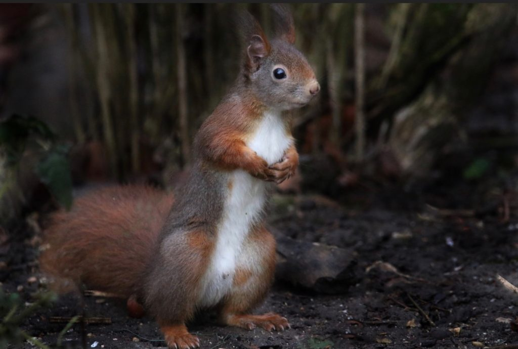Red squirrel found in the north west