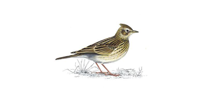 Skylark bird found around manchester and lancashire